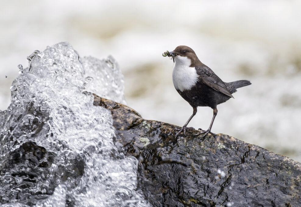 Wasseramsel Adult mit Futter auf Stein in Fluss stehend Region Kuusamo